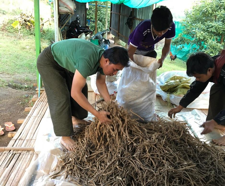 ミャンマー国貧困農家の所得向上及び健康改善のための無農薬ハーブ及び雑穀等生産・販売ビジネス(SDGsビジネス)調査