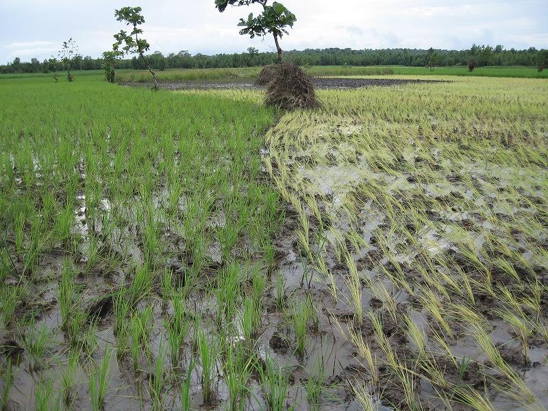 シエラレオネの低地稲作(栽培技術の向上が急務)