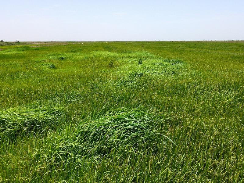 セネガルの灌漑水田(雑草管理が重要)
