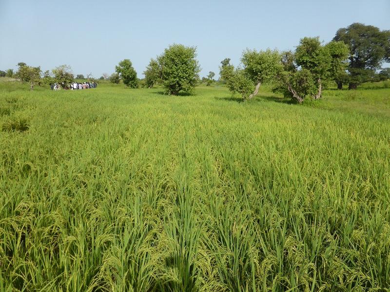 パイロット地区展示圃場の稲