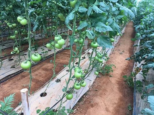 ベトナム国ダラット高原におけるICT活用・次世代養液土耕栽培システム案件化調査