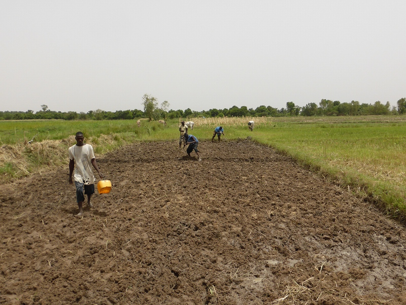 マリの首都近郊の灌漑水田(組織的な稲作が必要)