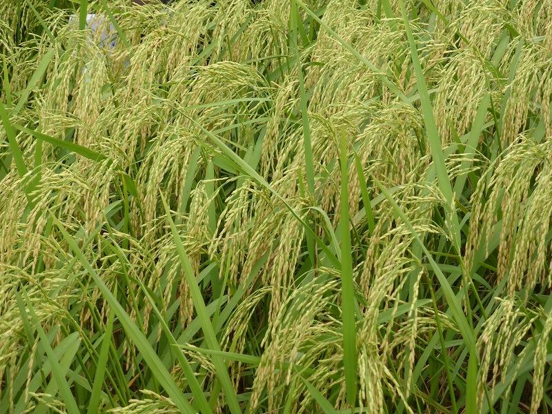 品種比較試験圃場の稲